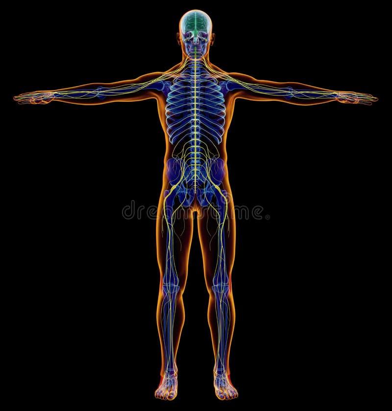 Man diagram x-ray nervous system. Full figure on black background vector illustration