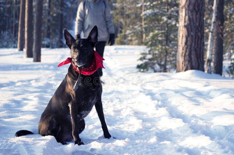 Man with a dog. In winter forest stock images