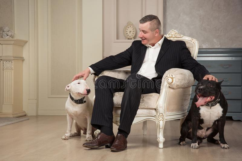 The man dog owner petting two dogs. Black pit bull or staphorshire terrier and white bulterrier are in the vintage interior. Dogs stock image
