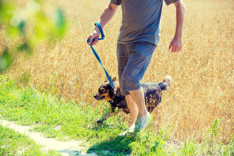 A man with a dog runs through the oat field. A man with a dog on a leash runs through the oat field in summer stock photography