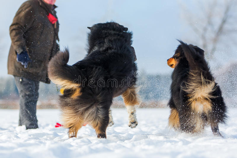 Man with dogs in the snow royalty free stock image