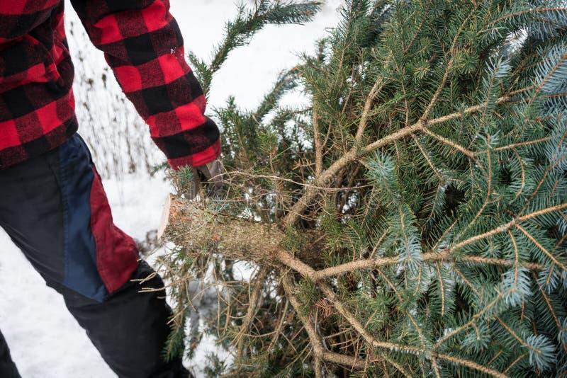 Christmas tree cutting royalty free stock image