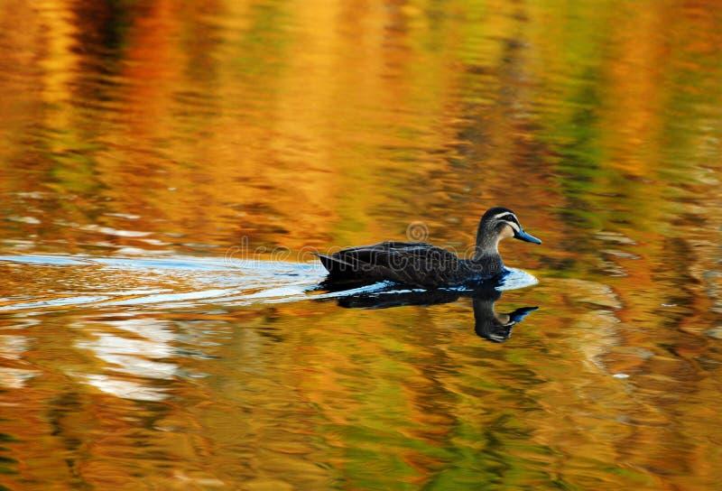 Man duckar solo simning på den guld- sjön royaltyfri foto