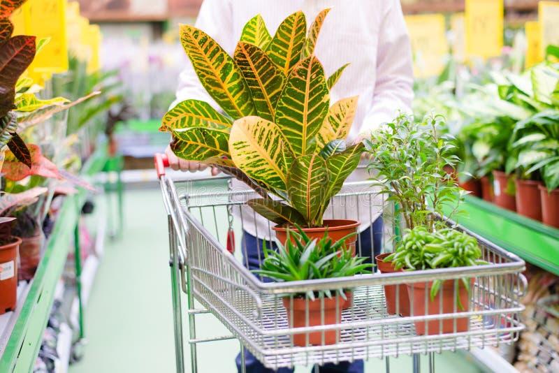 Man eller kvinna med spårvagnen som väljer krukväxter, i att arbeta i trädgården varuhussupermarket royaltyfria foton