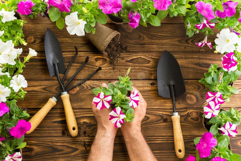 Man eller trädgårdsmästare som rymmer en grupp av vårpetunior royaltyfria foton