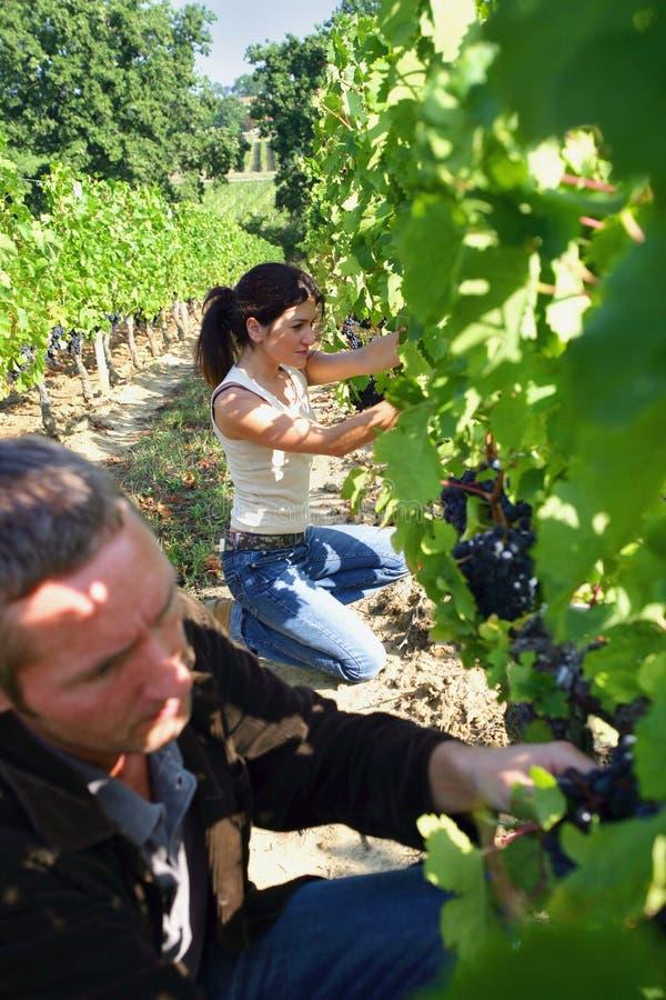 Man en vrouw in een wijngaard stock afbeeldingen
