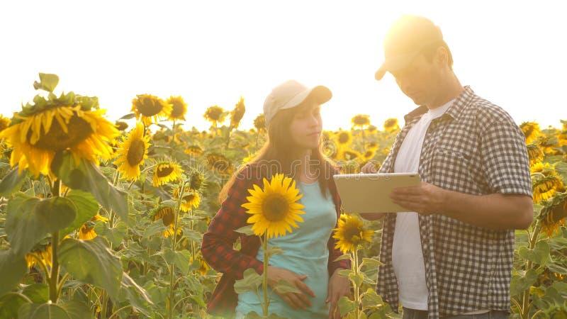 Man en vrouwen de landbouwers met een tablet werken op het gebied met zonnebloemen Het concept landbouw landbouwkundige en stock afbeeldingen