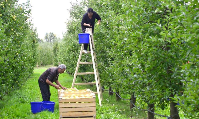 Man en vrouwen het plukken appelen in de boomgaard in Resen, Macedonië stock afbeeldingen