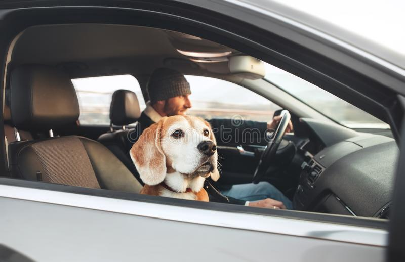 Man enjoying the modern car driving with his beagle dog sitting stock photos