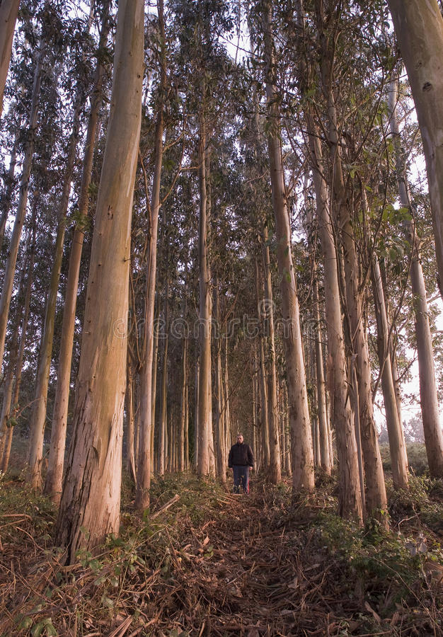 Download Man in a eucalyptus forest stock image. Image of botanical - 28933507