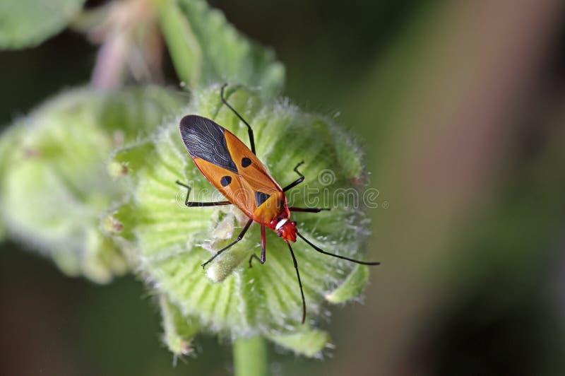 Man face bug royalty free stock photography