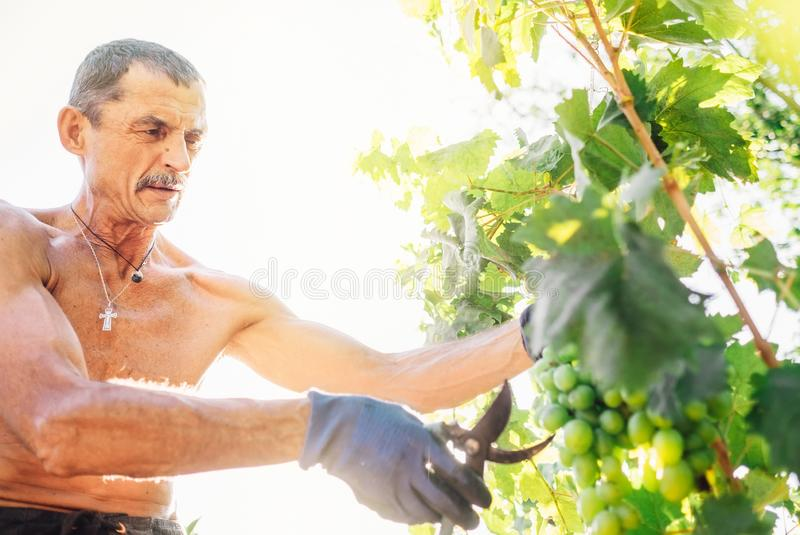 Man farmer cuts a grape bunches. Vintage time concept image stock image