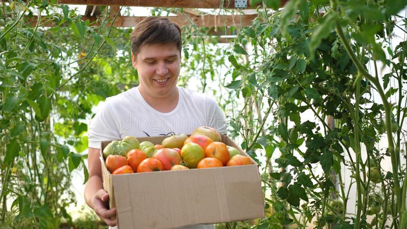 A man farmer harvests in a greenhouse. The farmer holds a box of organic vegetables-tomatoes. Organic Farm Food Harvest. Organic Farm Food Harvest. A man farmer royalty free stock images