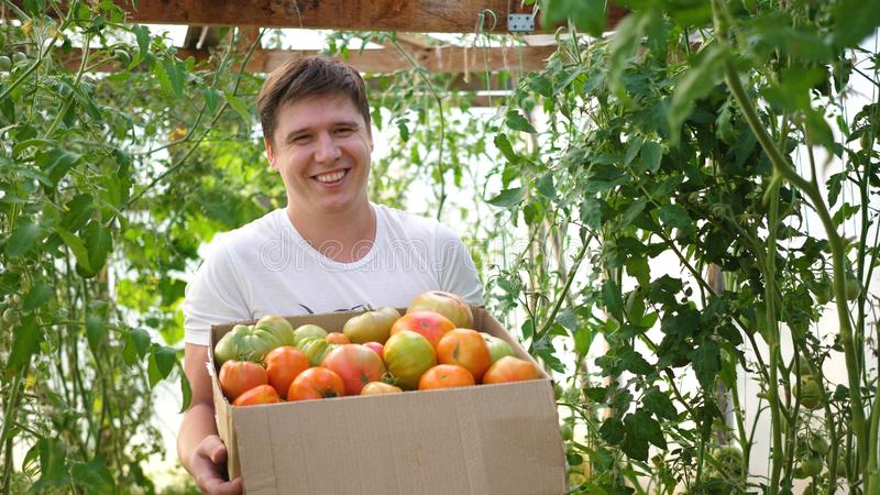 A man farmer harvests in a greenhouse. The farmer holds a box of organic vegetables-tomatoes. Organic Farm Food Harvest. Organic Farm Food Harvest. A man farmer royalty free stock photography
