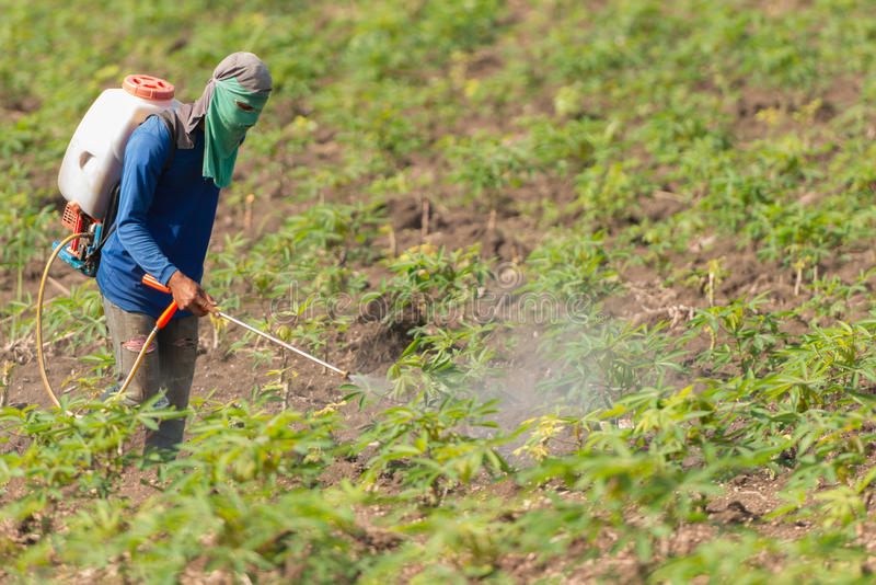 Man farmer to spray herbicides or chemical fertilizers on the fields green manioc growing. stock photography