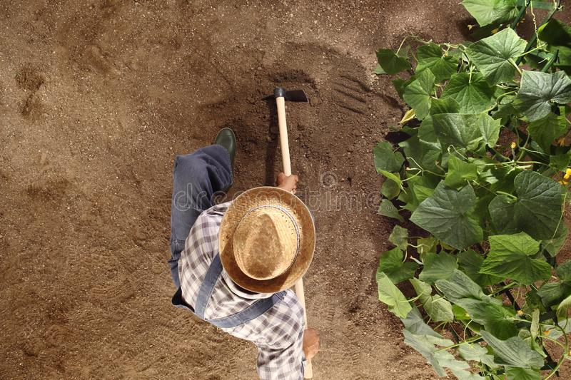 Man farmer working with hoe in vegetable garden, hoeing the soil stock photos