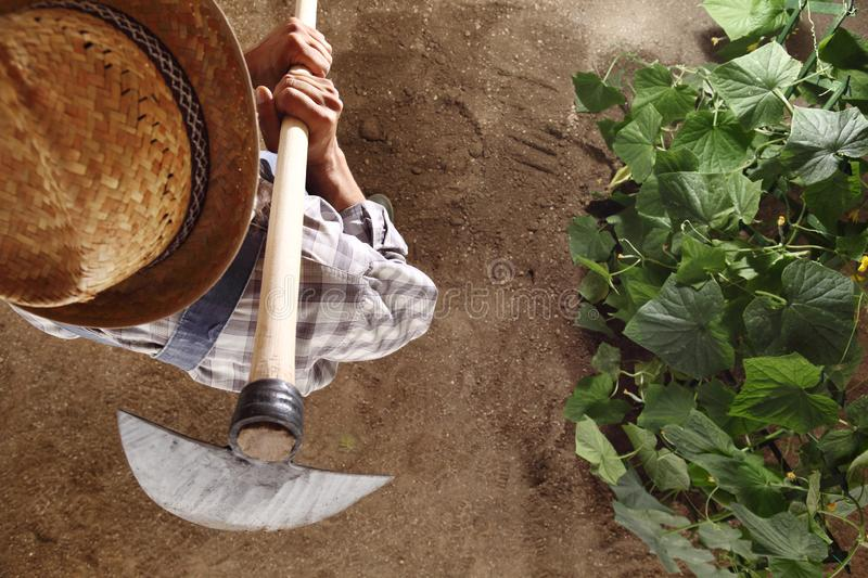 Man farmer working with hoe in vegetable garden, hoeing the soil royalty free stock images