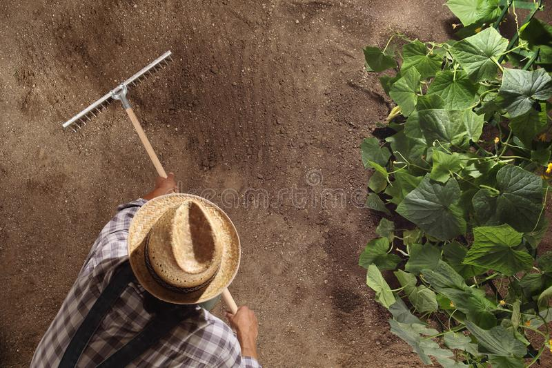 man farmer working with rake in vegetable garden, raking the soil near a cucumber plant, top view and copy space template royalty free stock photo