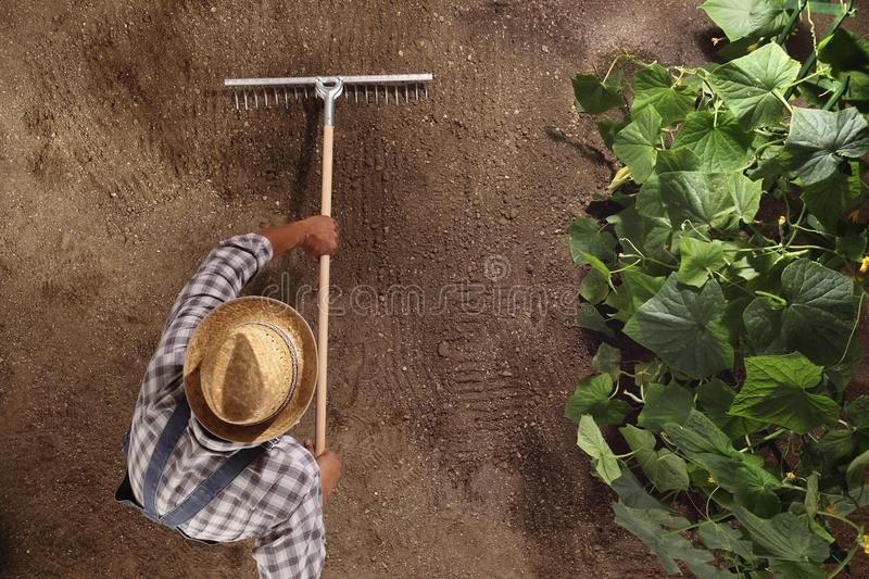 man farmer working with rake in vegetable garden, raking the soil near a cucumber plant, top view and copy space template stock photos