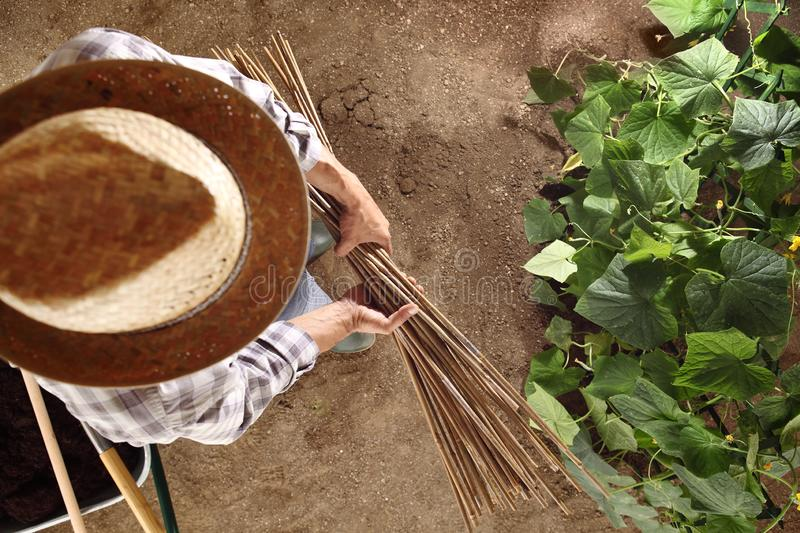 Man farmer working in vegetable garden with bamboo sticks for ti royalty free stock images