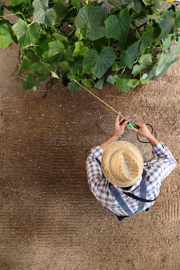 Man farmer working in vegetable garden, pesticide sprays on plants, top view and copy space stock image