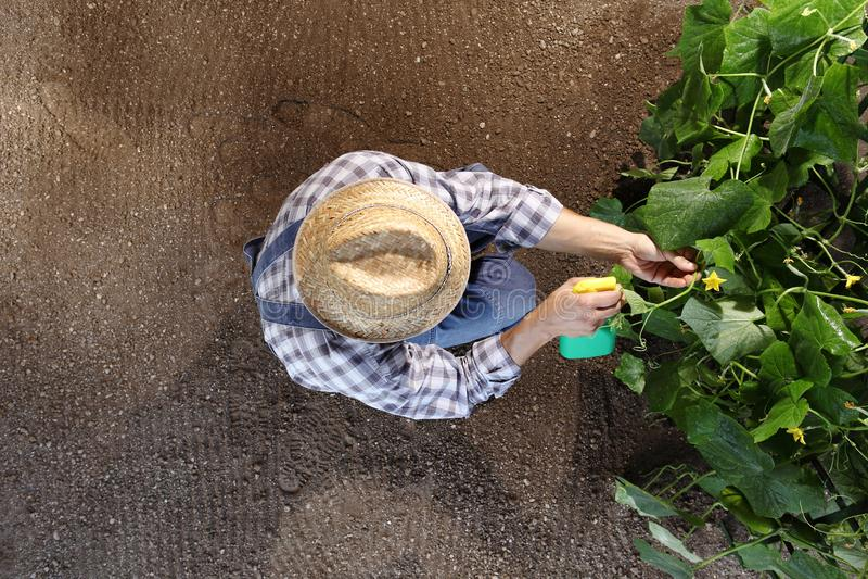 Man farmer working in vegetable garden, pesticide sprays on plan royalty free stock photos