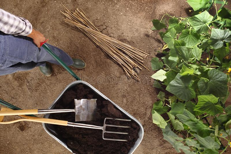 Man farmer working in vegetable garden, wheelbarrow full of fer stock image