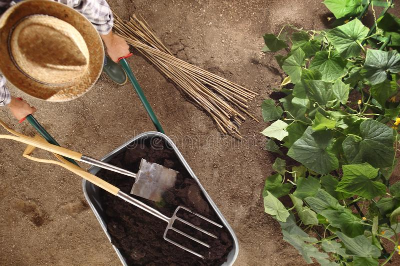 Man farmer working in vegetable garden, wheelbarrow full of fertilizer with spade and pitchfork, bamboo sticks for tie the plants stock photography