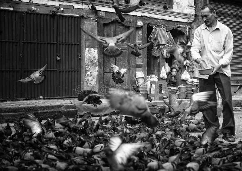 Man feeding pigeons stock image