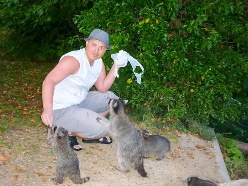 The man is feeding raccoons. Domestication of wild animals. stock photo
