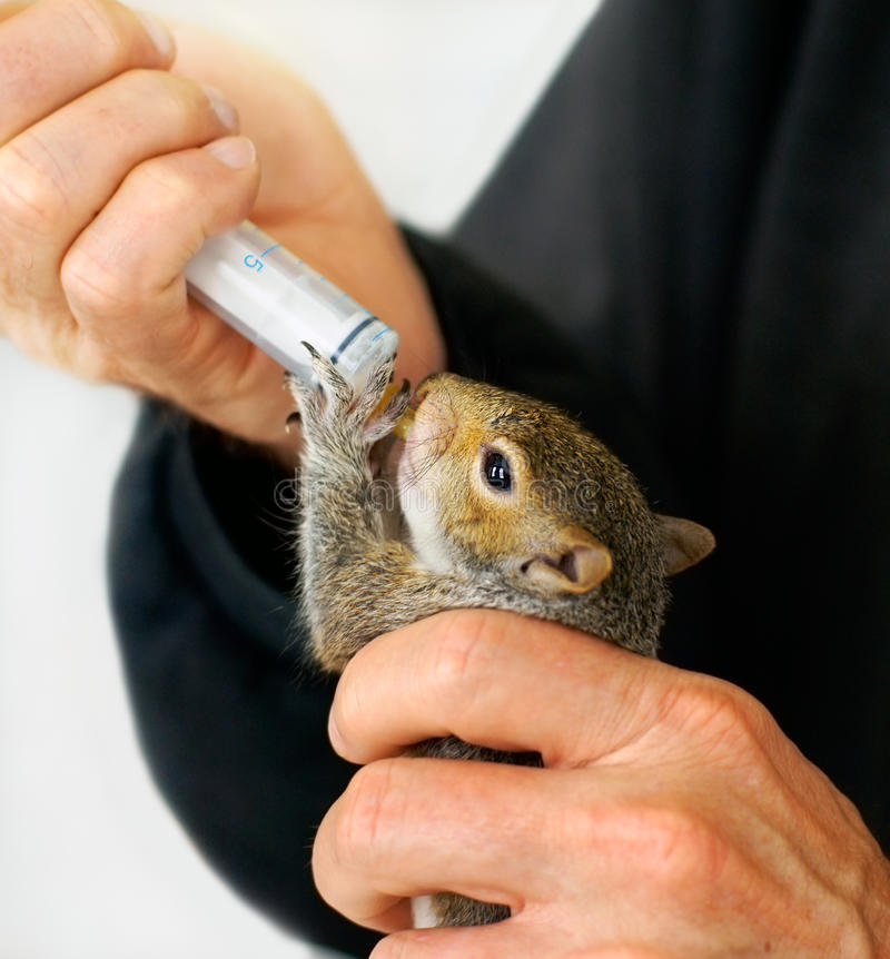 Free Man Feeding Rescued Orphan Baby Squirrel Stock Photo - 18300720