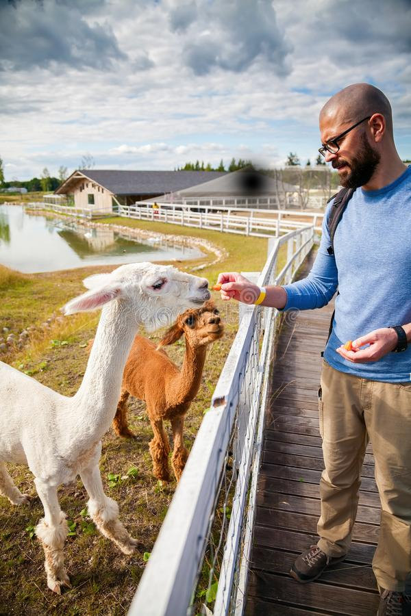 Man feeding white alpaca stock photo