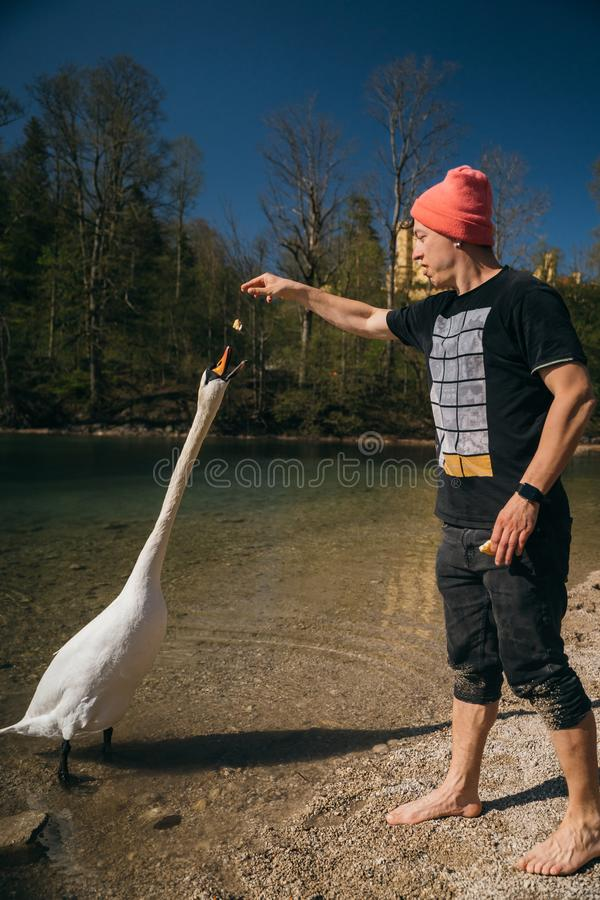 Man feeds a large white swan on the shore. stock photography