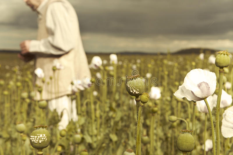 Man on field of opium poppy with cutted heads. Middle East man harvesting opium on poppy field stock photography