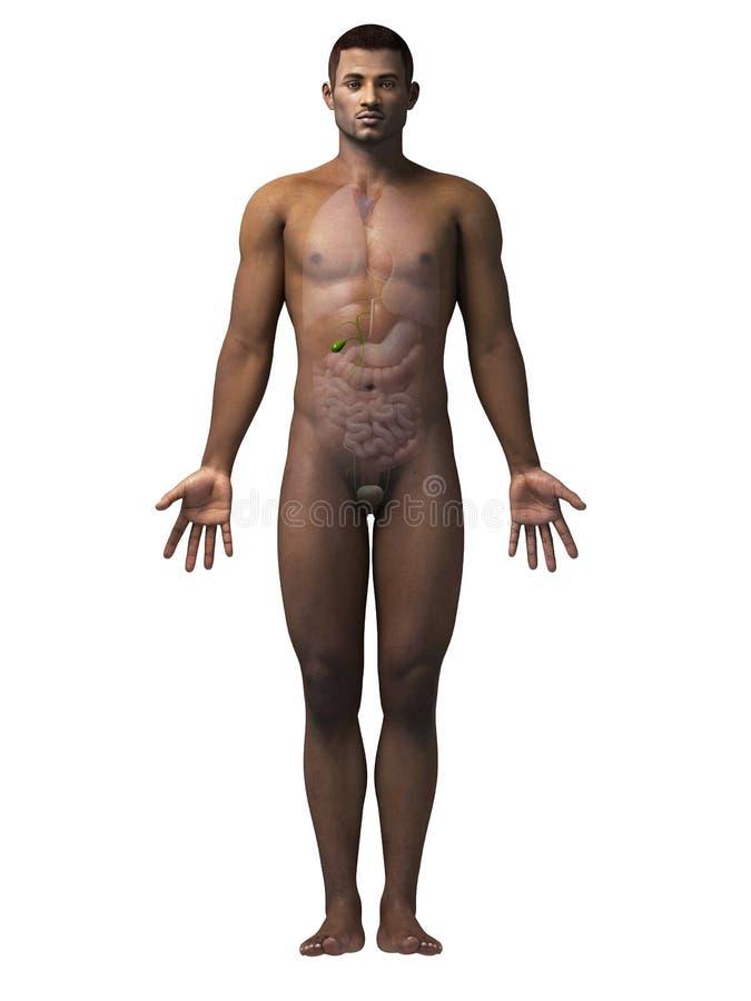 Man - gallbladder stock illustrationer