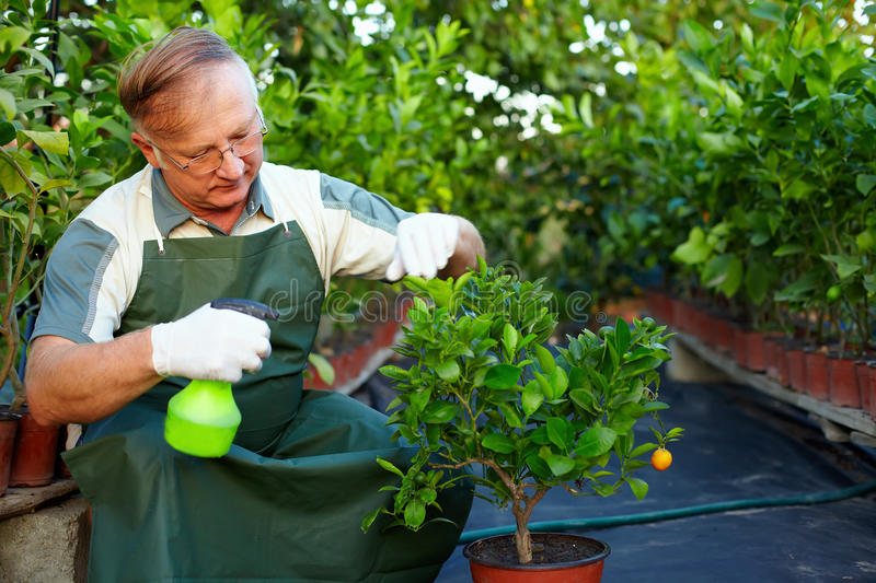Man, gardener cares for plants in greenhouse. Senior man, gardener cares for citrus plants in greenhouse royalty free stock photography