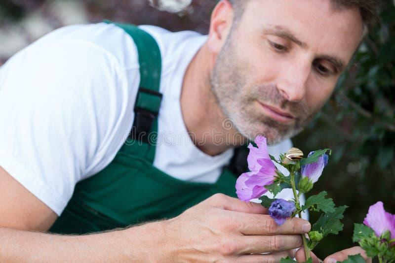Man gardening cutting roses outside royalty free stock image