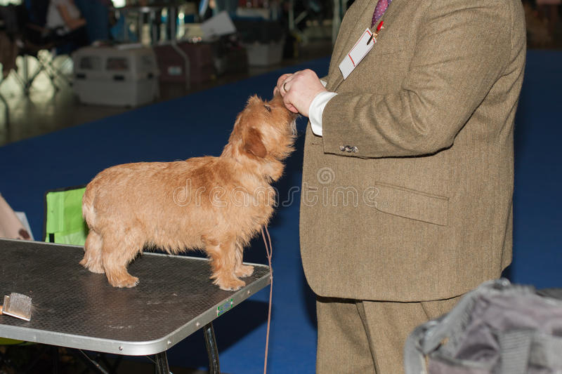 Man gives Norfolk terrier treat stock photos