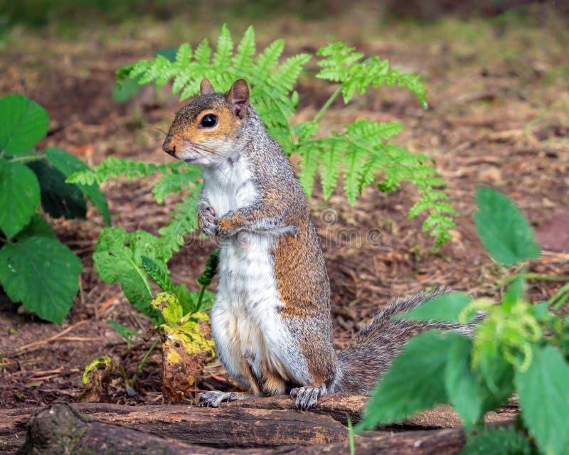 Man Grey Squirrel - Sciuruscarolinensis som står och håller ögonen på arkivbilder