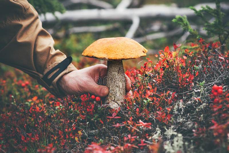 Man hand picking Mushroom orange cap boletus royalty free stock image