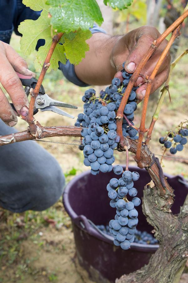 Man hand picking organic grapes from vine vineyard harvest time at the countryside stock images