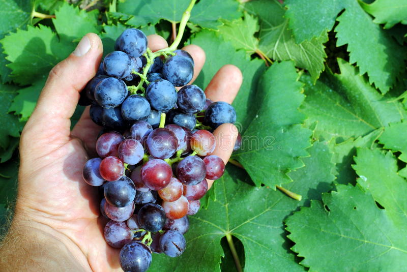 Man hand with a red grapes royalty free stock image