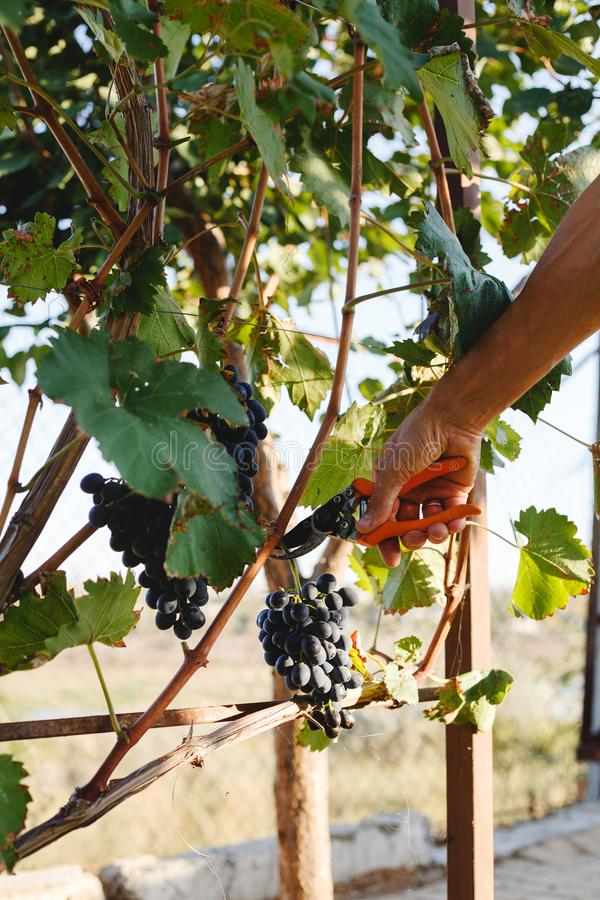 Man hand with scissors cutting grapes bunches in grape harvesting time for food or wine making. Cabernet Franc, Sauvignon, stock photography