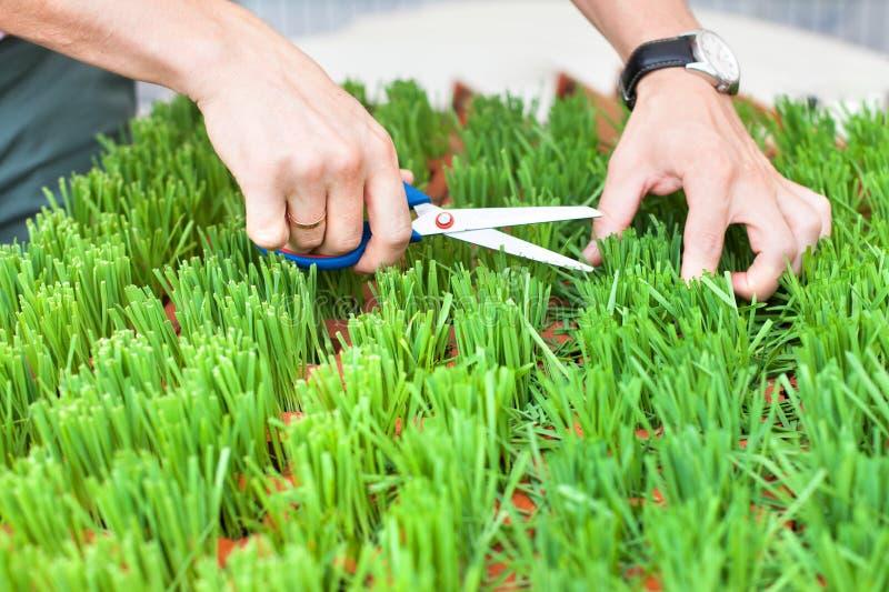 Man handen die het groene gras met schaar snijden, de tuinman snijdt het gras, de greepschaar van mensenhanden en snijden vers gr royalty-vrije stock foto's