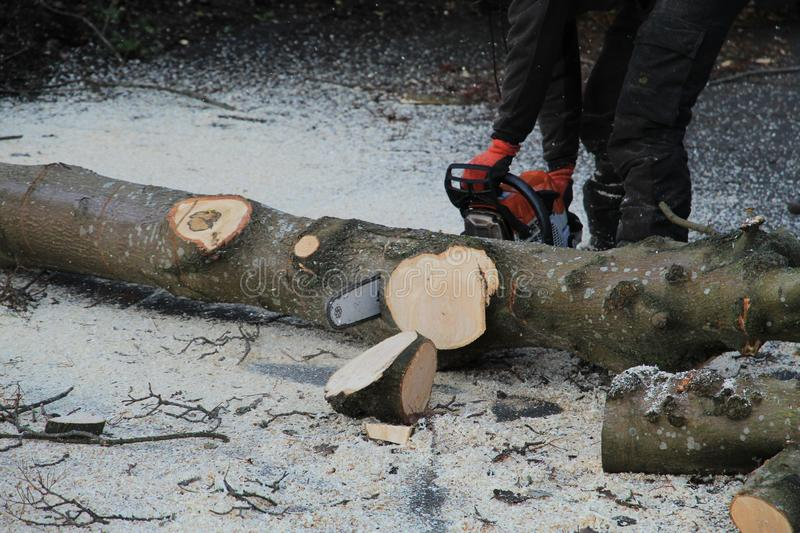 Man Handling a Chainsaw. Worker logging a tree with a chainsaw stock images