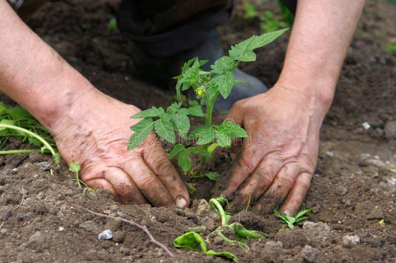Man hands planting tomato seedlings