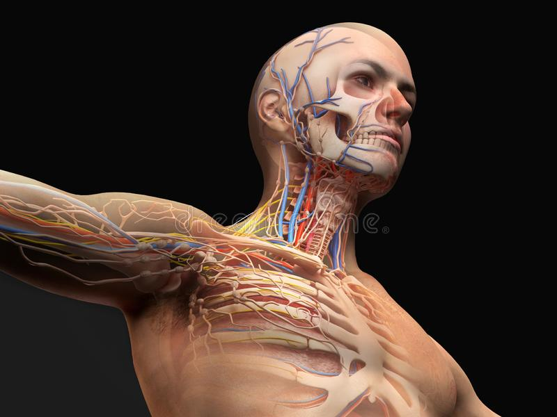 Man head and chest anatomy diagram with ghost effect. Skeletal, cardiovascular, nervous and lymphatic systems vector illustration