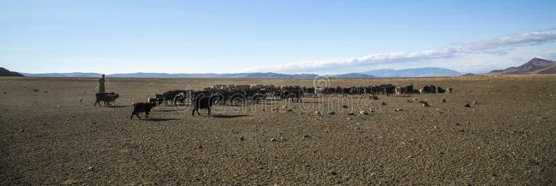 Man herding his animals. Bayan Ulgii, Mongolia, 2nd October 2015: mongolian nomad man herding his animals royalty free stock image