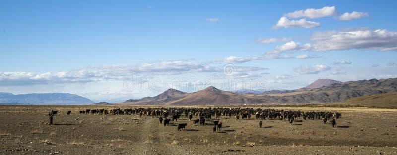 Man herding his animals. Bayan Ulgii, Mongolia, 2nd October 2015: mongolian nomad man herding his animals royalty free stock images