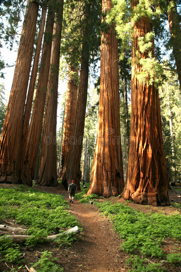 Man Hiking on Trail Next to Redwood Grove. Male Hiker in Sequioa National Park stock photos